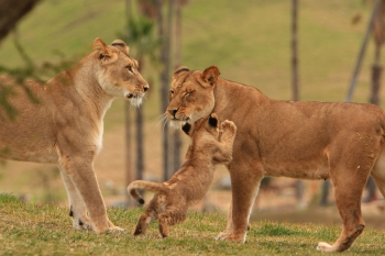 lvi_safari_350x233